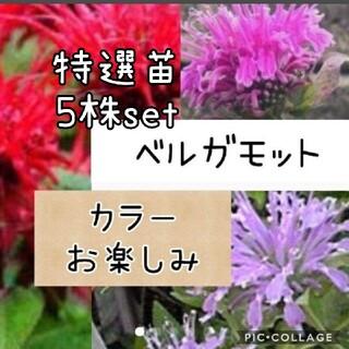 ベルガモット 花苗 5株set(その他)