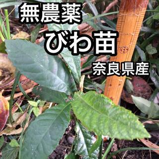 びわ 苗 1本 びわの苗 無農薬 奈良県産(野菜)