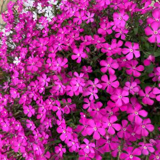 ★こぼれ種で花咲く!シリーズ⑨ サポナリア(蔓小桜)の種‼️(その他)