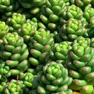 多肉植物 セダムカット苗(その他)