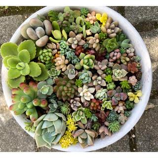 【多肉植物】寄せ植えセット ◎苗のみ配送 ◎25種以上(その他)