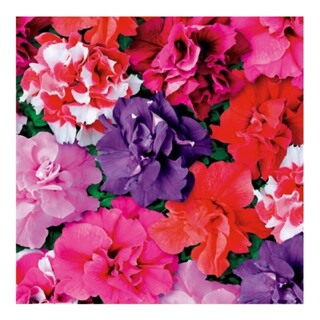 魅力的な八重咲きのミックス♪ペチュニア デュオミックスの種(その他)