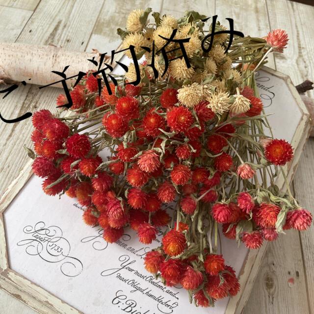 ドライフラワー千日紅 赤、白 ハンドメイドのフラワー/ガーデン(ドライフラワー)の商品写真