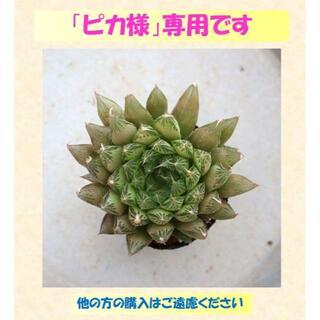 多肉植物 【0537】  「クーペリー」「Casa」「Red Ace」3点セット(その他)