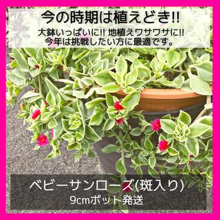 ベビーサンローズ 斑入り バエリガータ(多肉植物)ポトスのように挿木簡単!♡(その他)