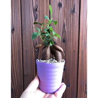 観葉植物 植物 ガジュマル 抜き苗 紫(その他)