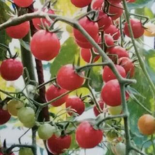 カラフルトマトの種 カラフルMIX トマト 種 30粒(野菜)