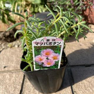 植物✨八重咲松葉牡丹✨薄ピンク抜き苗(その他)