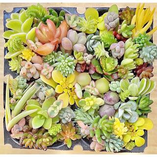 多肉植物 セダム 34種 カラフルセット.☆.。.:*・(その他)
