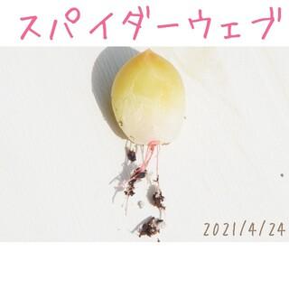 【大人気激レア品種】スパイダーウェブ 葉挿し 発根済み! 多肉植物(その他)