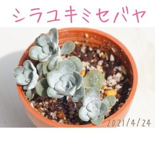 白雪 ( シラユキ ) ミセバヤ 抜き苗 多肉植物(その他)