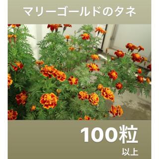 マリーゴールド 花 タネ 種 100粒以上(その他)