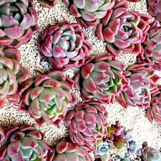 激可愛♡ 韓国苗 エケベリア ピンクザラゴーサ×モンロー 多肉植物。(その他)