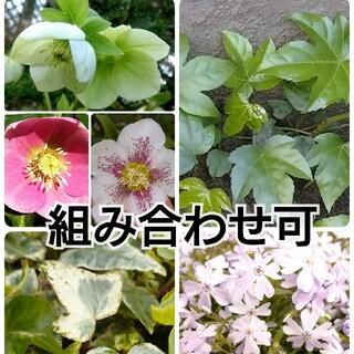 植物の苗、挿し穂 組み合わせ可能(その他)