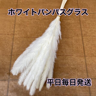 ホワイトパンパスグラス(ドライフラワー)