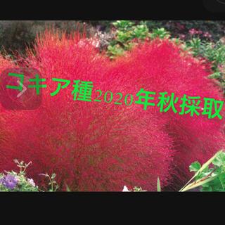 コキアの種、こきあ ドライフラワー スワッグ 紅葉 タネ 2020年秋採取(その他)