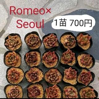 韓国輸入苗 ◆Romeo×Seoul◆ カット苗(その他)