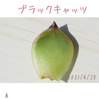 【大人気 超高額種】 ブラックキャッツ 葉挿し 未発根芽 多肉植物(その他)