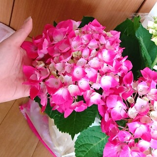 ショッキングピンクの紫陽花挿し穂♥️(その他)