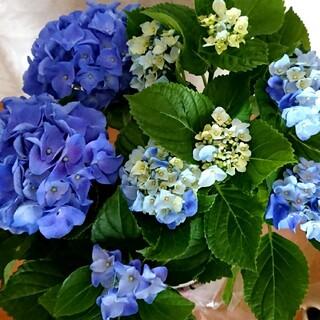 8️⃣カラフルで綺麗な青い紫陽花挿し穂☆(その他)