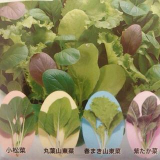 まき時! 小松菜 丸葉山東菜 春まき山東菜 紫たか菜 mix種50粒(野菜)