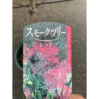 【ラクマパック】スモークツリー グレース*庭木ガーデンレッド(その他)
