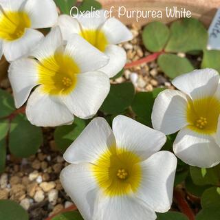 オキザリス Oxalis cf. Purpurea White 球根(その他)