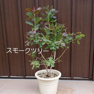 ふわふわ人気♪スモークツリー(けむりの木) レッド(ドライフラワー)