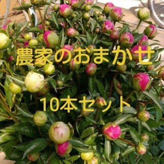 【芍薬】農家のおまかせ 10本セット(その他)