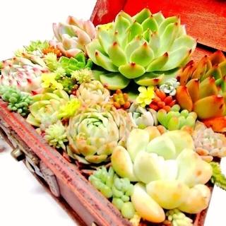はじめてセット☆多肉植物(韓国苗&普及種)+セダム(その他)