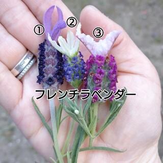 フレンチラベンダーの苗と挿し穂(その他)