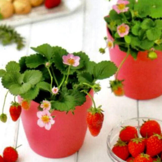 四季なりイチゴの種25粒(その他)
