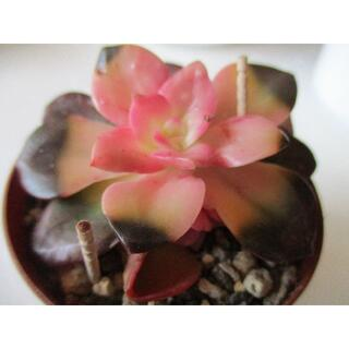 🌸多肉植物 チョコレート韓国(葉挿し)🌸2枚(その他)