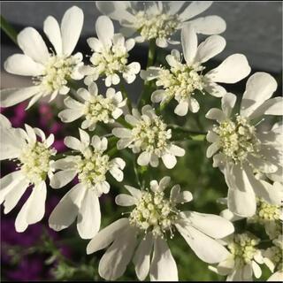 レースフラワーオルレアの種 花の種(プランター)