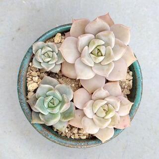 多肉植物 【0542】  グラプトベリア属「白牡丹」4株セット(その他)