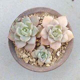 多肉植物 【0543】  グラプトベリア属「白牡丹」3株セット(その他)