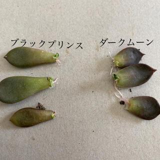 多肉植物 エケベリア、ダークムーン ブラックプリンス 葉挿し(その他)
