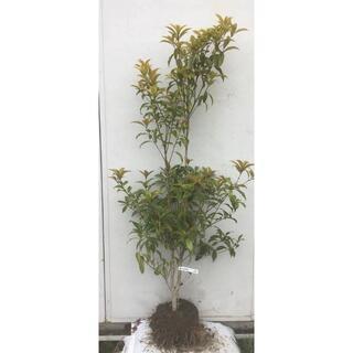 《現品》キンモクセイ 樹高1.5m(根鉢含まず)52【金木犀/苗木/植木/庭木】(その他)