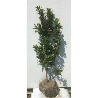 《現品》イチゴの木(ストロベリーツリー)樹高1.1m(根鉢含まず)31【苗木】(その他)