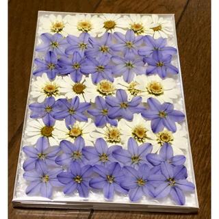 12  銀の紫陽花が作った青いイフェイオンと白いマーガレットです(ドライフラワー)