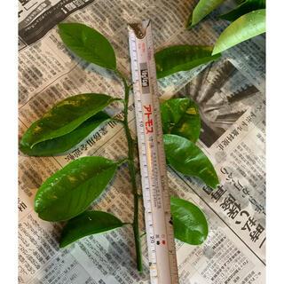 みかんの葉 八朔の枝葉 20本(虫類)