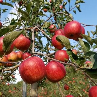 数量限定☆雪室りんご  シナノスイート家庭用5kg(フルーツ)