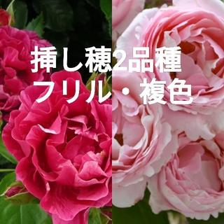 薔薇苗(バラ苗)挿し木用 挿し穂2品種セット(その他)