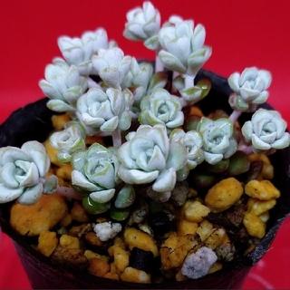 多肉植物 白雪ミセバヤ ★根つき、抜き苗(その他)