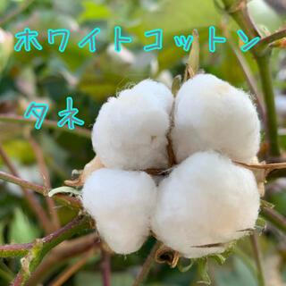 ホワイトコットンの種25粒(その他)