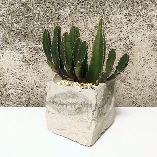 サボテン ハンドメイド セメント鉢 観葉植物 多肉植物 コーデックス 塊根植物(その他)