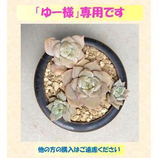 多肉植物 【0544】  「白牡丹」4株セット」&「淡雪7株セット」(その他)
