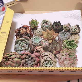 SALE‼️韓国多肉植物20種セットルノーディン錦入❤お名前付けます(その他)