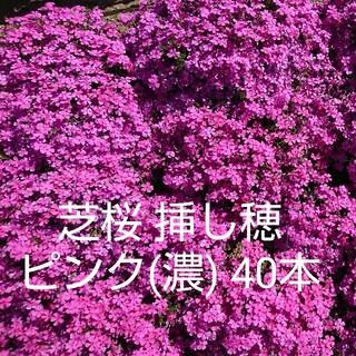 芝桜 挿し穂 ピンク(濃) 40本(その他)