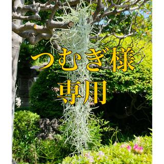 【次回発送はGW明け5/6となります🙇♀️】ウスネオイデス/スパニッシュモス(その他)